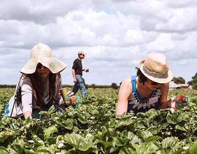 Women picking strawberries